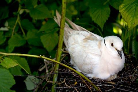 Nesting ringneck dove, Tikorangi, Taranaki