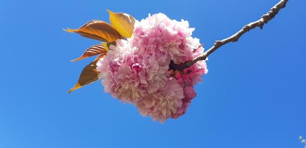 blossom, burns street, leamington, waikato, new zealand