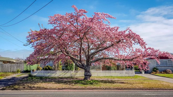 Flowering Cherry, Shakespeare Street, Leamington, Waikato, New Zealand.