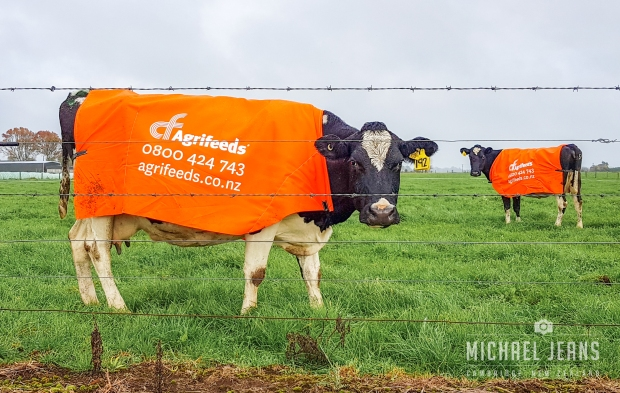 Cow billboards, billboardus bovis, Mystery Creek Road. Kaipaki, Waikato, New Zealand.