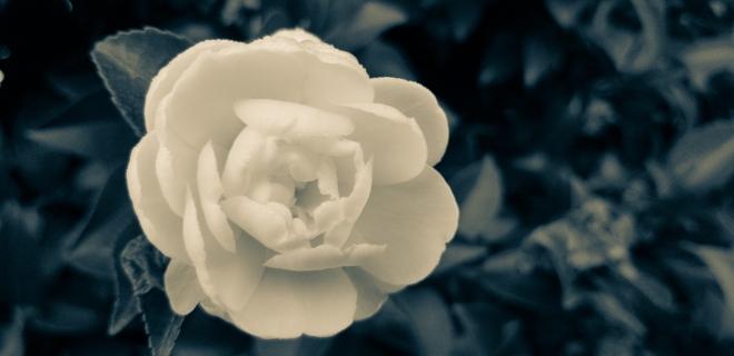 Camellia Kate Sheppard