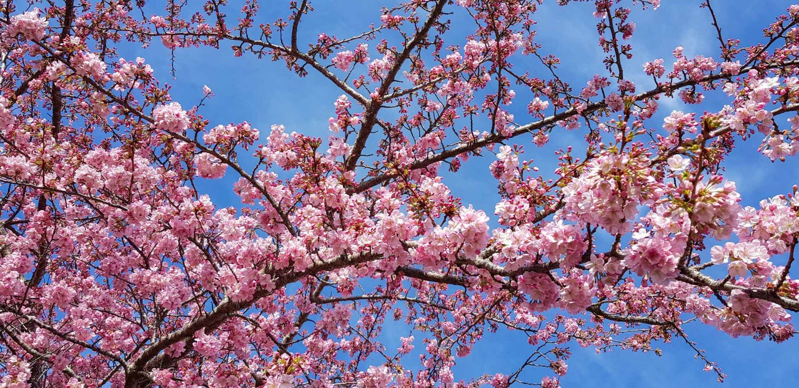 Cherry blossom, Shakespeare Street Leamington August 2018