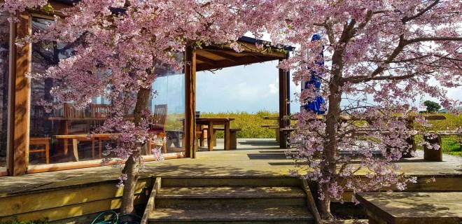 Cafe Irresistiblue, Monavale Blueberries, Moanatuatua, Waikato. 25.9.18 (looking west)