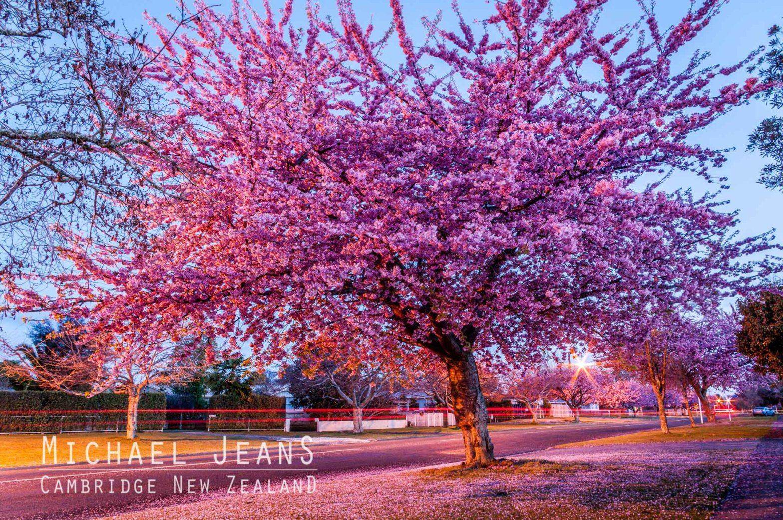 Cherry blossom Shakespeare Street Leamington